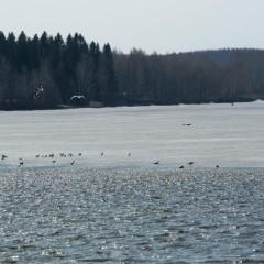 Чайки на пруду © Эльвира Файзутдинова