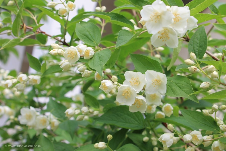 Цветет жасмин © Татьяна